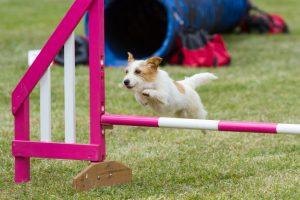 Dog on agility course