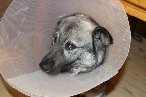 sick-dog-1063663_960_720