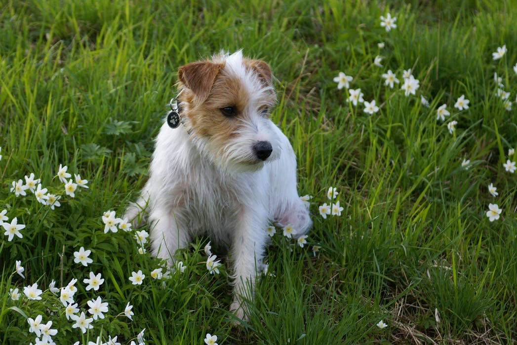 Jack Russell i gräset