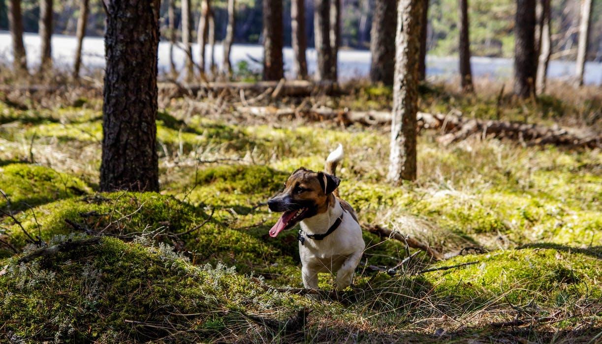 Jack Russel i skogen