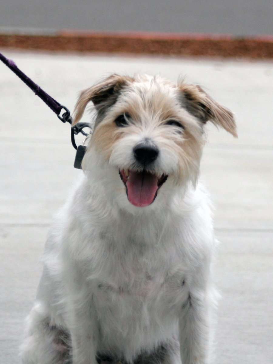 Historien bakom Jack Russell Terrier